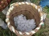 摘みたての和綿