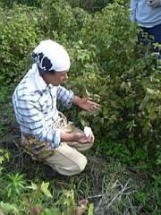 収穫中の町田さん