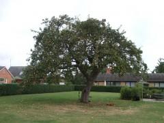 ロラン島の各家にある特産品のりんごの木
