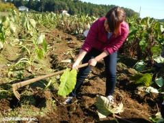 ④鍬で掘るのもコツが必要です