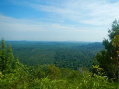 原生林と油ヤシプランテーション