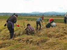 2013年の稲刈りの様子